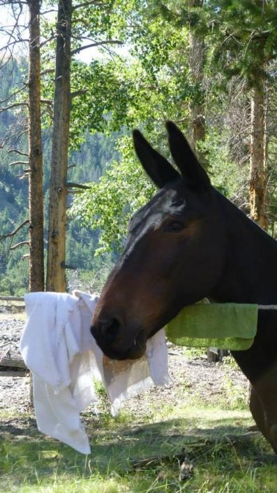 Mule in Camp