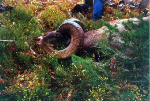 Sheep Mesa Outfitters Big Horn Sheep Trophy